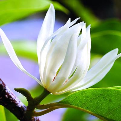 Cây Hoa Ngọc Lan