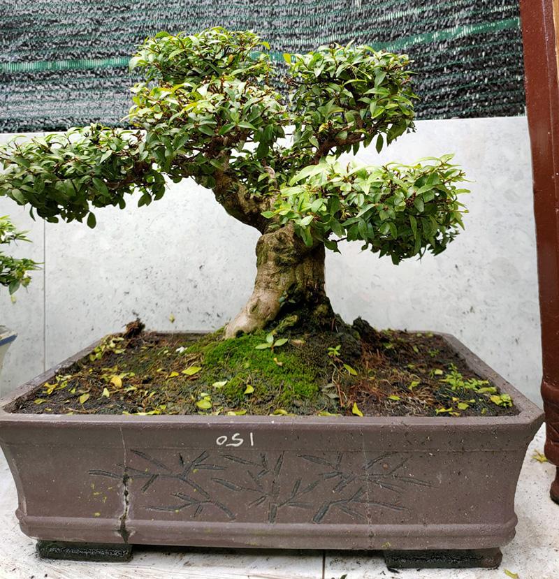 Mai chấn thuỷ bonsai
